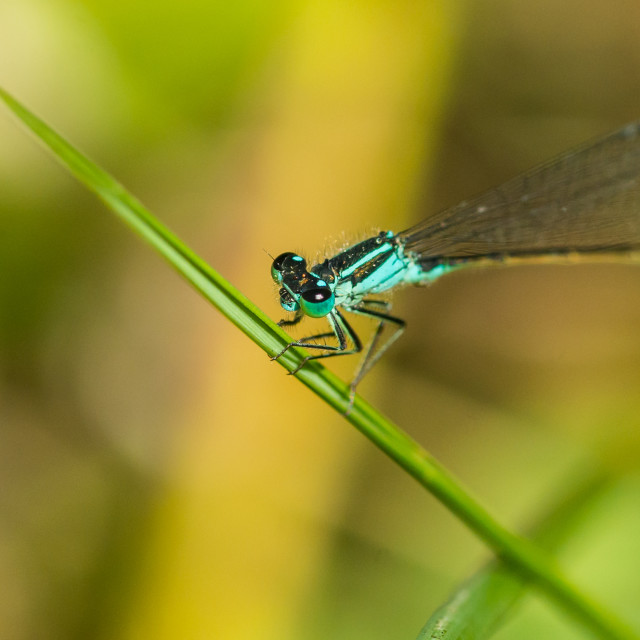 """Blue Tailed Damsel"" stock image"
