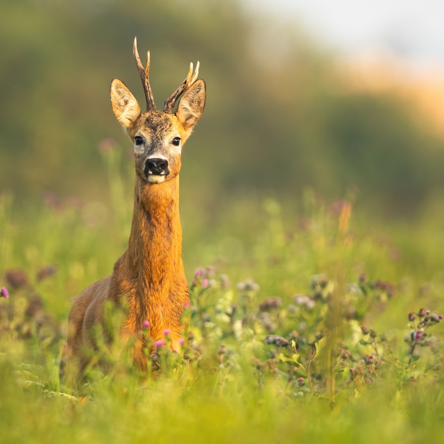 """""""Roe deer buck with antlers standing alerted on a meadow at sunrise in summer"""" stock image"""