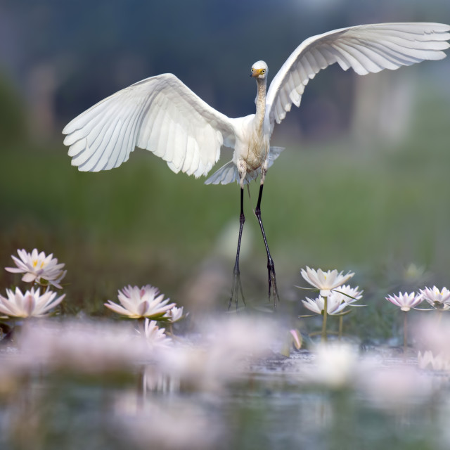 """Great Egret in water lily pond"" stock image"