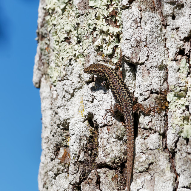 """""""Silver birch and lizard"""" stock image"""