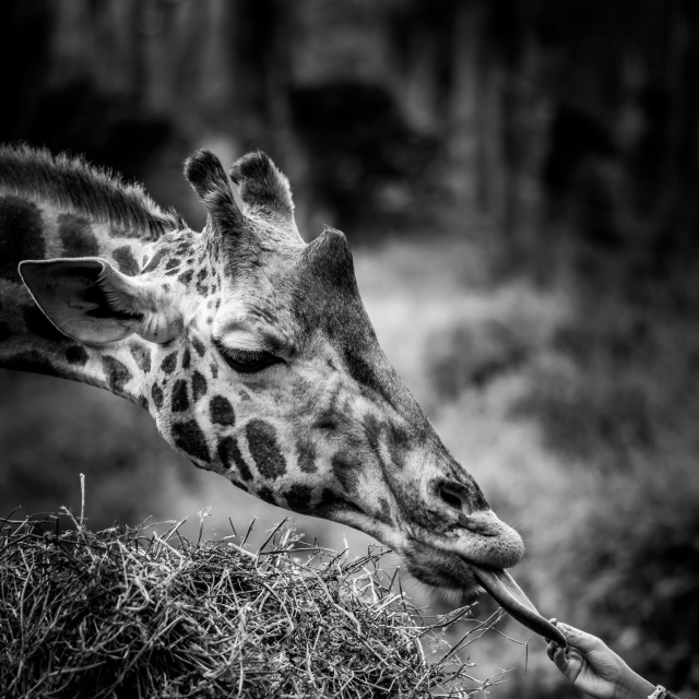 """""""Tourist interacting with a giraffe."""" stock image"""