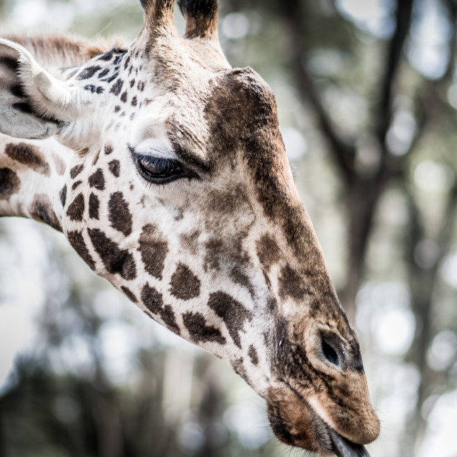 """A headshot of a Giraffe"" stock image"