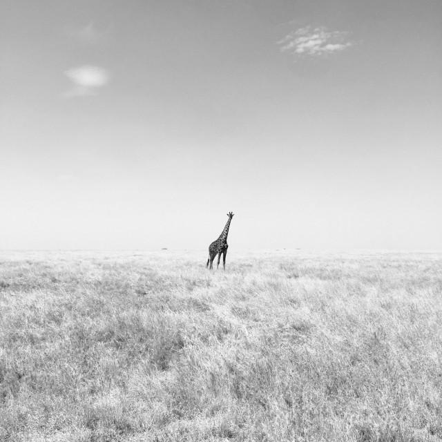 """""""Lone Giraffe"""" stock image"""