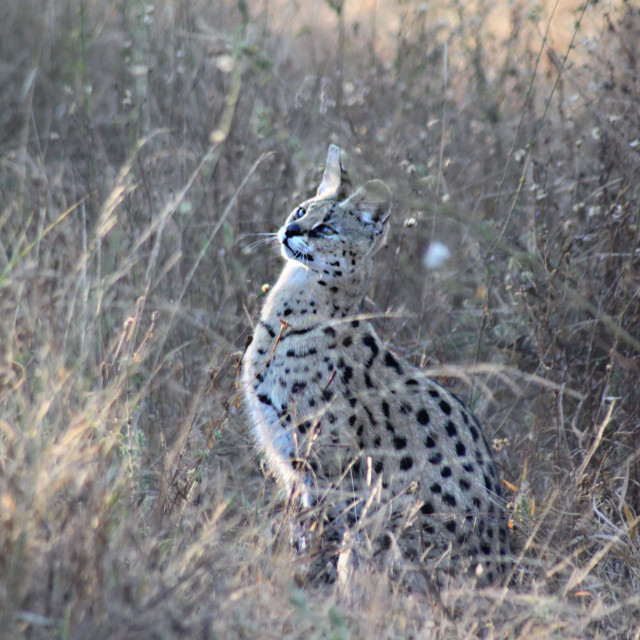 """Serval"" stock image"