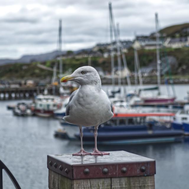 """Posing Seagull"" stock image"