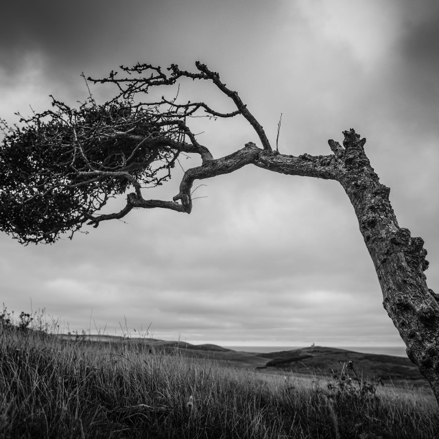 """""""Windswept tree, South Downs"""" stock image"""