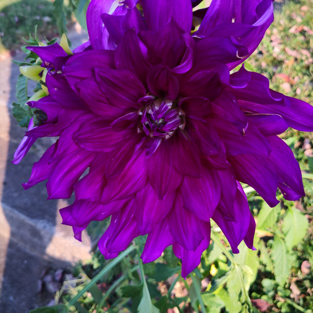 """""""Purple Dahlia"""" stock image"""
