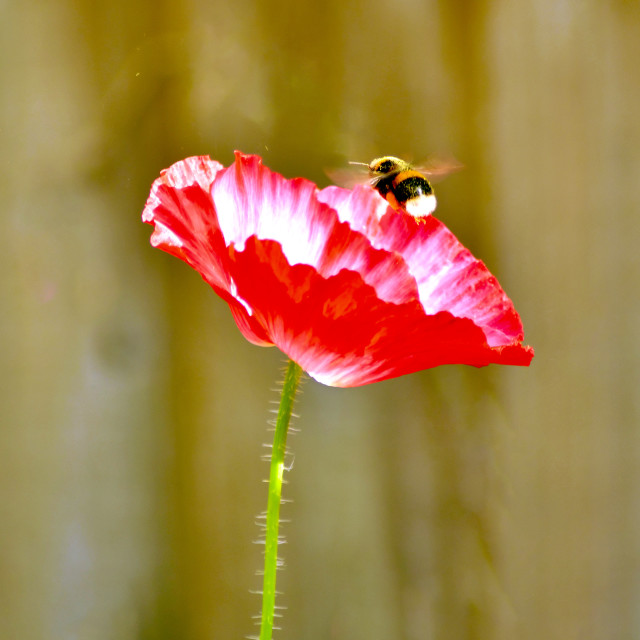 """The bee and the poppy"" stock image"