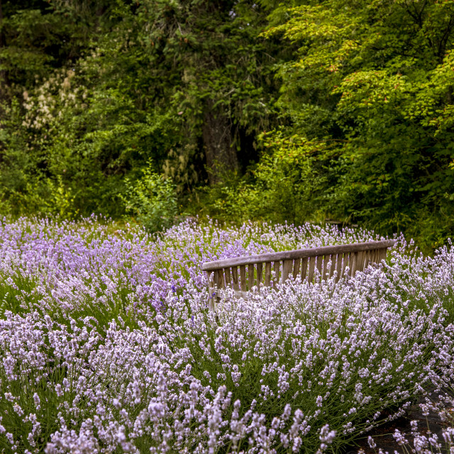 """""""Blooming lavender fields in Pacific Northwest USA"""" stock image"""