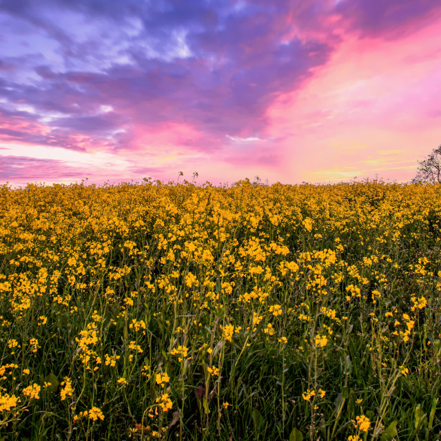 """sunset over a field filled with rapeseed oil crop"" stock image"