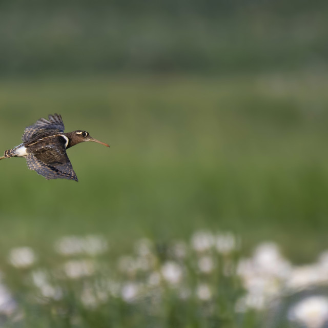 """Painted-snipe flying over flowers"" stock image"