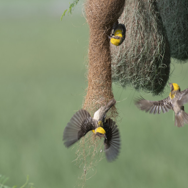 """Baya weaver (Ploceus philippinus) with Nesting Colony"" stock image"