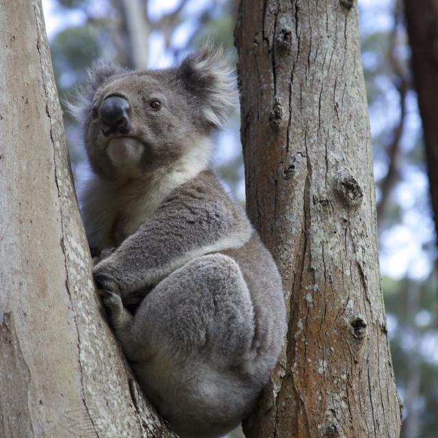 """Koala bear in crook of a eucalyptus tree"" stock image"
