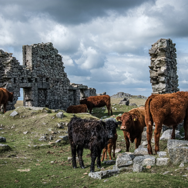 """""""Cows in ruins"""" stock image"""