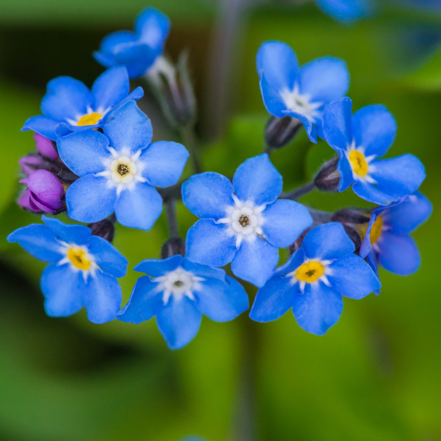 """Forget Me Nots"" stock image"