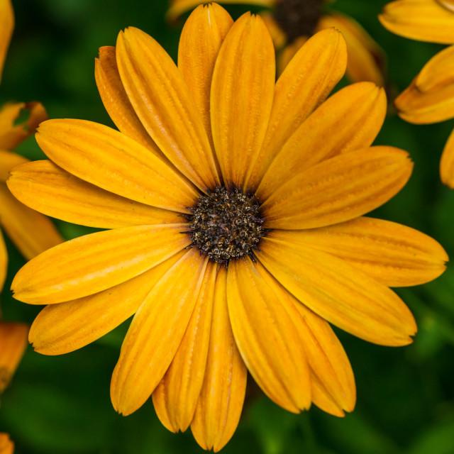 """""""Orange Osteospermum"""" stock image"""