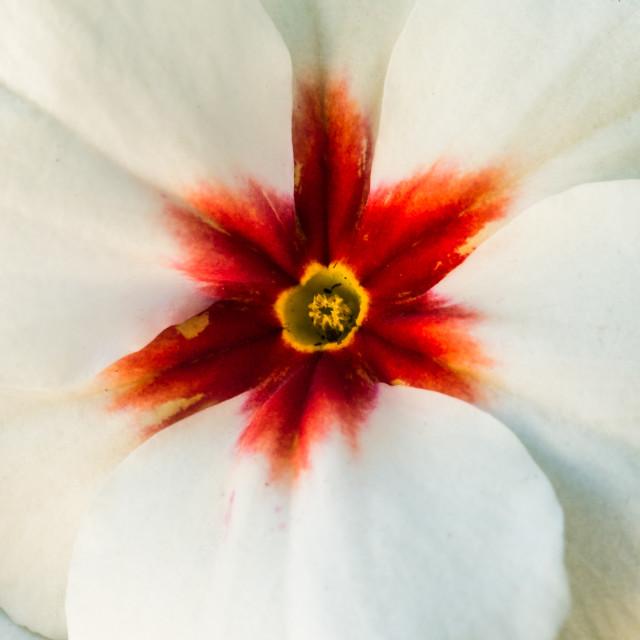 """White Primrose"" stock image"