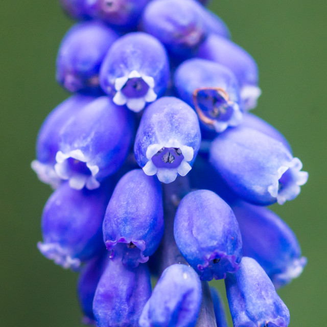 """Small Hyacinth"" stock image"