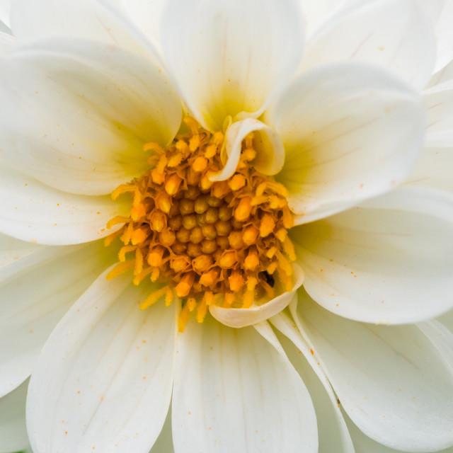 """""""White Dahlia"""" stock image"""