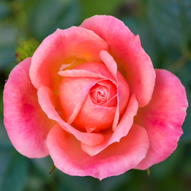 """Rose Sweet Dream"" stock image"