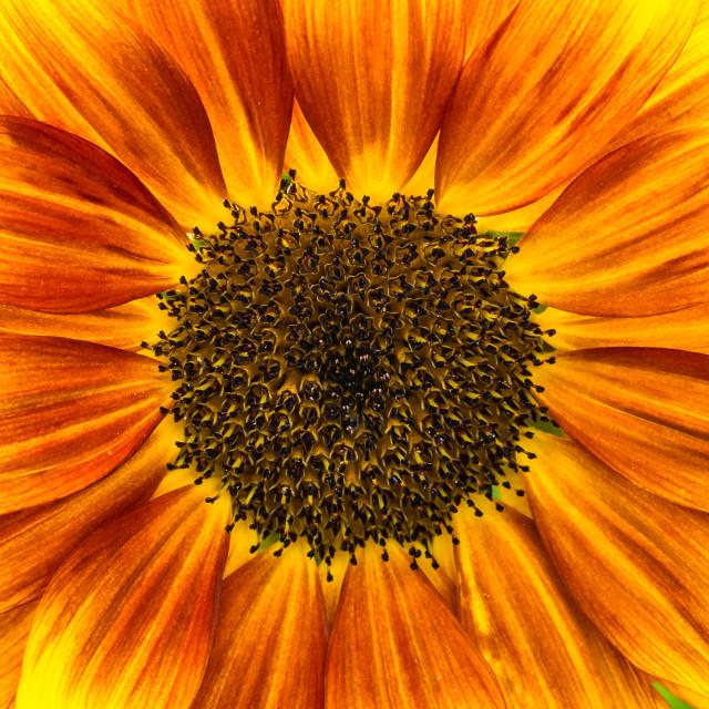 """Sunflower Solar Flash"" stock image"