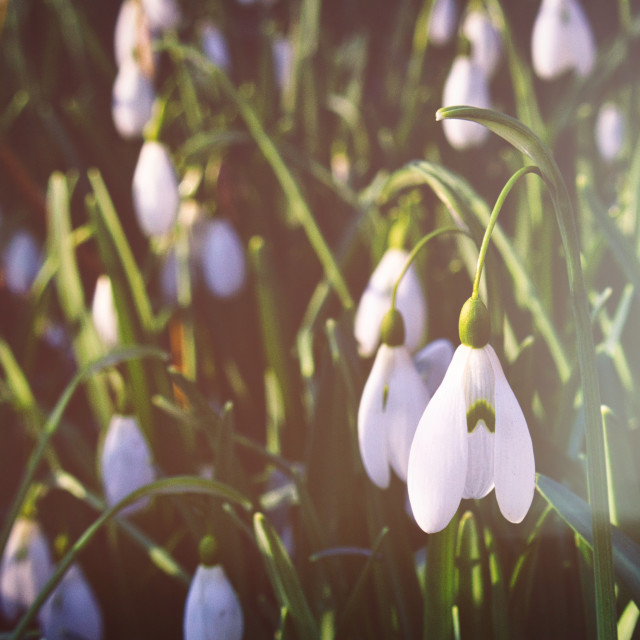 """Snowdrops with film fade"" stock image"