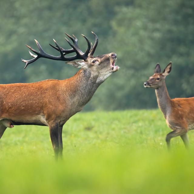 """Red deer stag roaring in rutting season and hind walking behind it"" stock image"