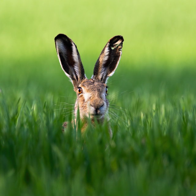 """Wild brown hare looking with alerted ears on a green field in spring."" stock image"