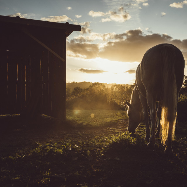 """The grazing white horse on pasture during the sunset"" stock image"