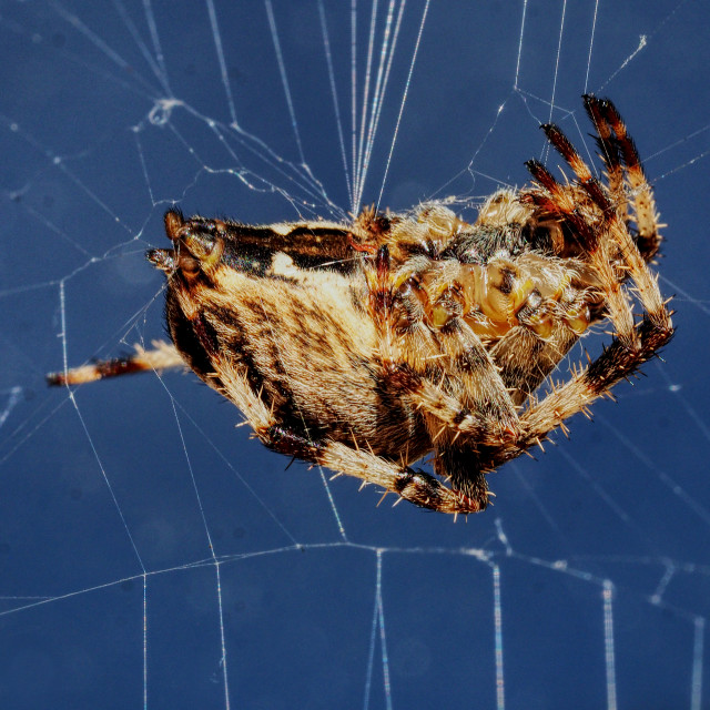"""European Garden Spider"" stock image"