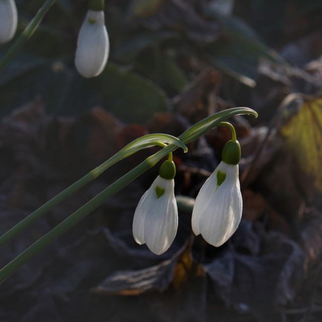 """Snowdrops in the Morning"" stock image"