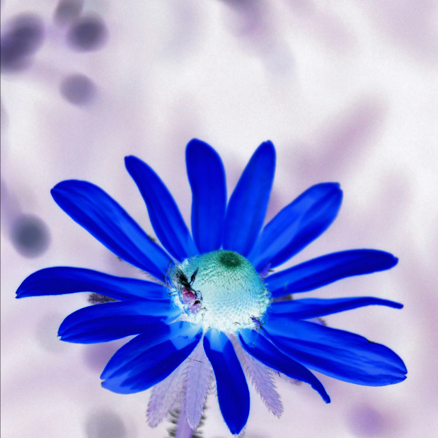 """""""Blue Susan and a fly"""" stock image"""