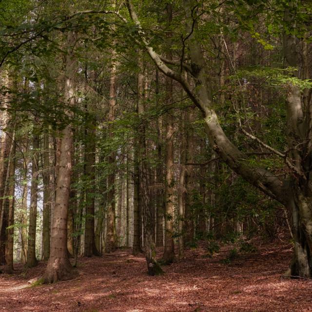 """Devilla Forest in Kincardine"" stock image"