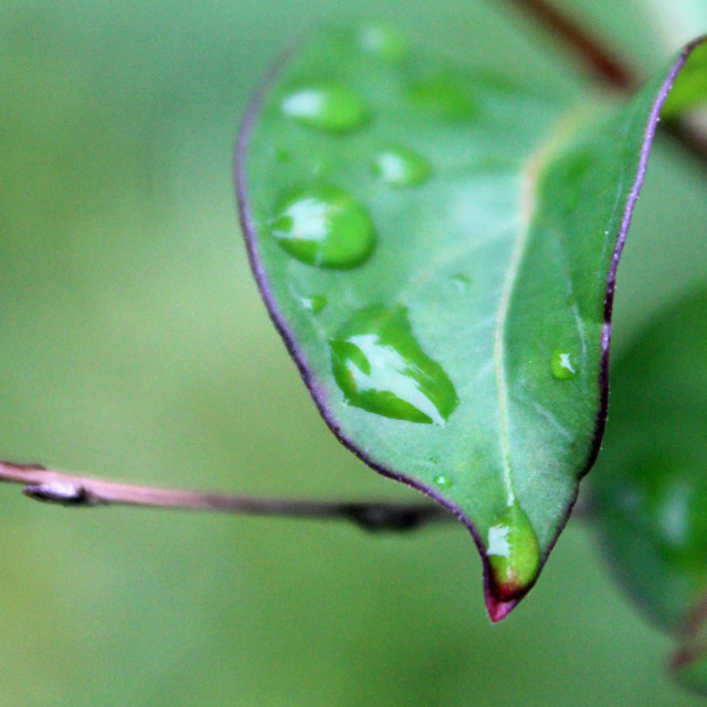 """raindrops on a leaf"" stock image"
