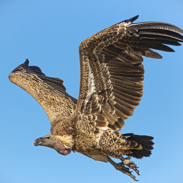 """Bald Vulture"" stock image"