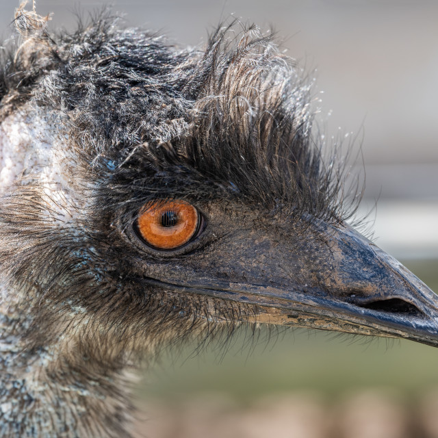 """Emu Portrait (Captive)"" stock image"
