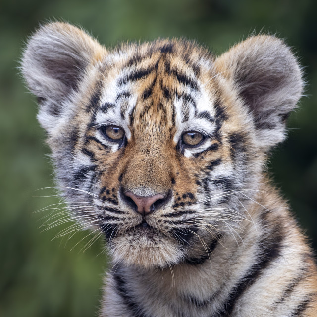 """Male Amur tiger cub (close-up)"" stock image"