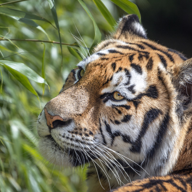 """Female Amur tiger with bushes behind"" stock image"