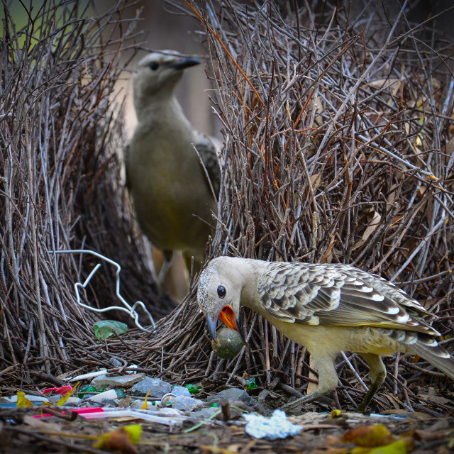 """""""""""The Courting Game"""" Australian Geographic"""" stock image"""