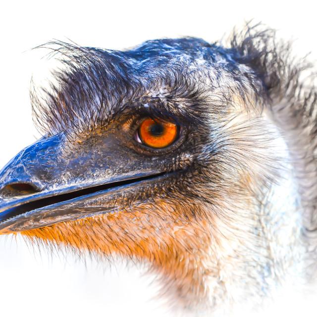 """Elvis the Emu"" stock image"