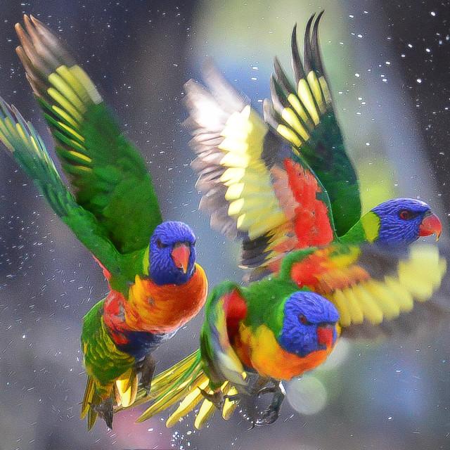 """Full Flight Rainbow Lorikeets"" stock image"