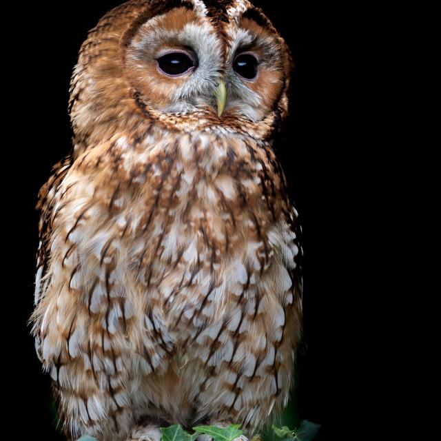 """Beautiful Tawny Owl (Strix aluco)"" stock image"