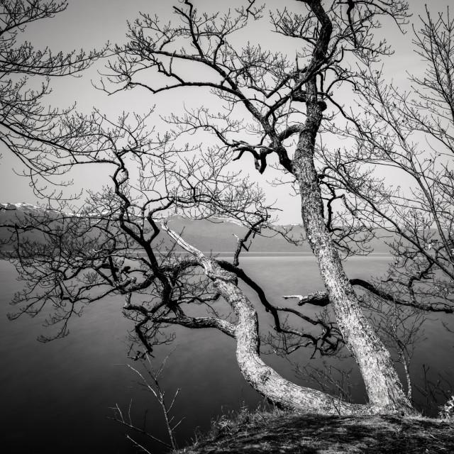 """""""Tree - Kussharo lake - hokkaido"""" stock image"""