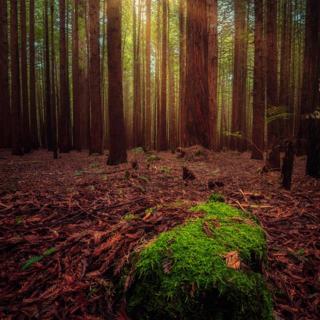 """""""The Redwoods, Rotorua, New Zealand"""" stock image"""