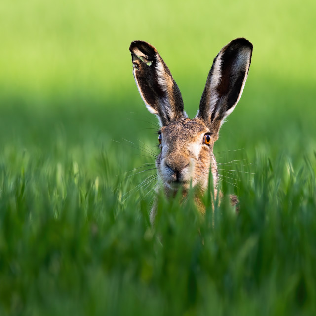 """""""Close-up of brown hare, lepus europaeus, peeking out from green grass in nature"""" stock image"""