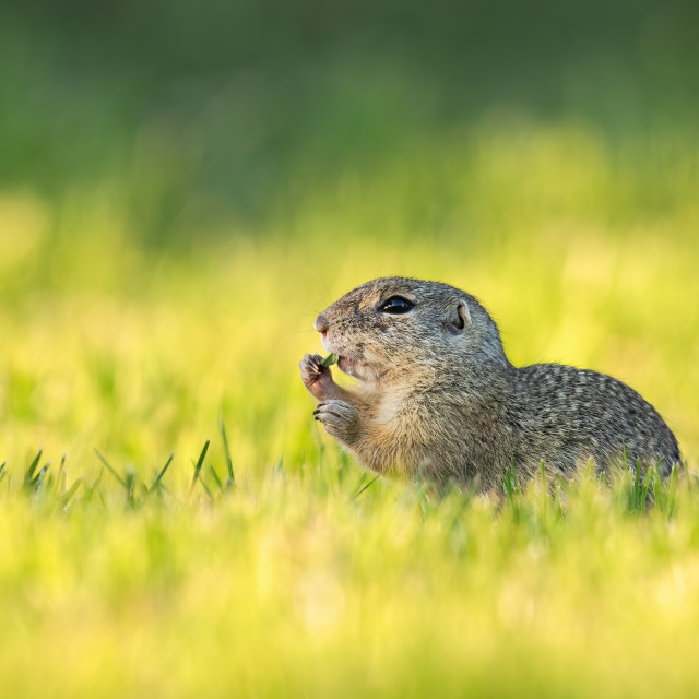 """""""European ground squirrel feeding with herb on green meadow at sunrise"""" stock image"""
