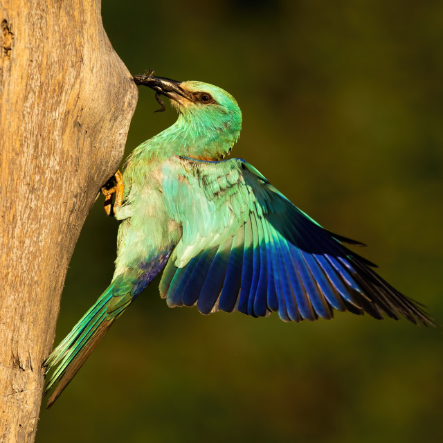 """""""European roller holding frog in beak and landing on nest to feed young."""" stock image"""