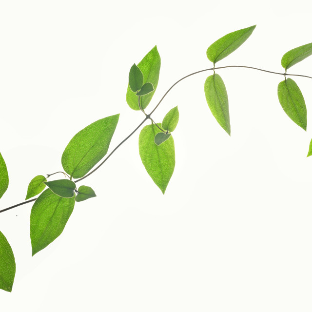 """""""Branch Of Green Leaves Isolated"""" stock image"""