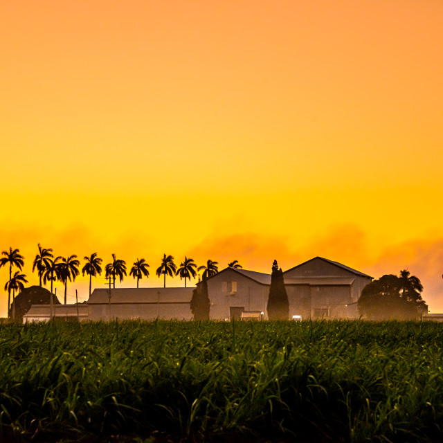 """""""Out in the Cane Fields"""" stock image"""