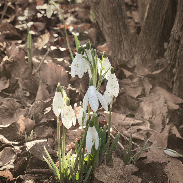 """Snowdrops in the Woods"" stock image"